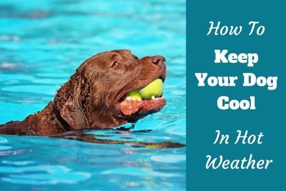 How to keep your labrador cool when its hot