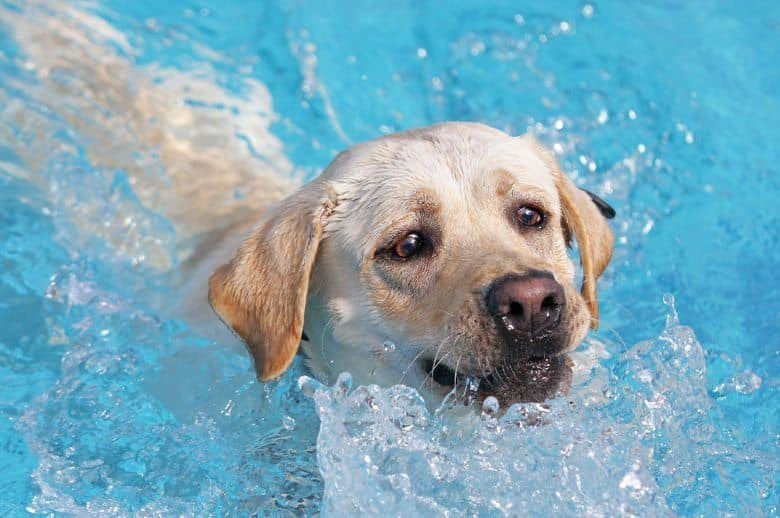 Yellow lab swimming with only head above splashing water