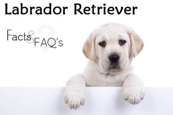 Labrador Retriever facts and FAQs written beside a yellow lab puppy with paws up on a white wall.