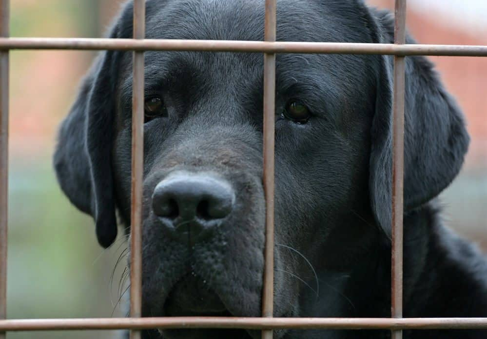A black labrador face behind a wire mesh fence