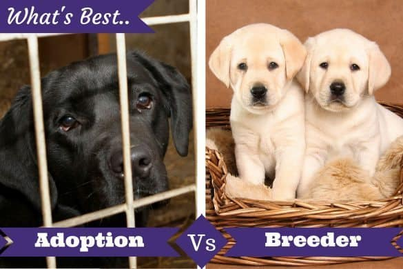 Adoption vs breeder below a lab in a cage and 2 puppies