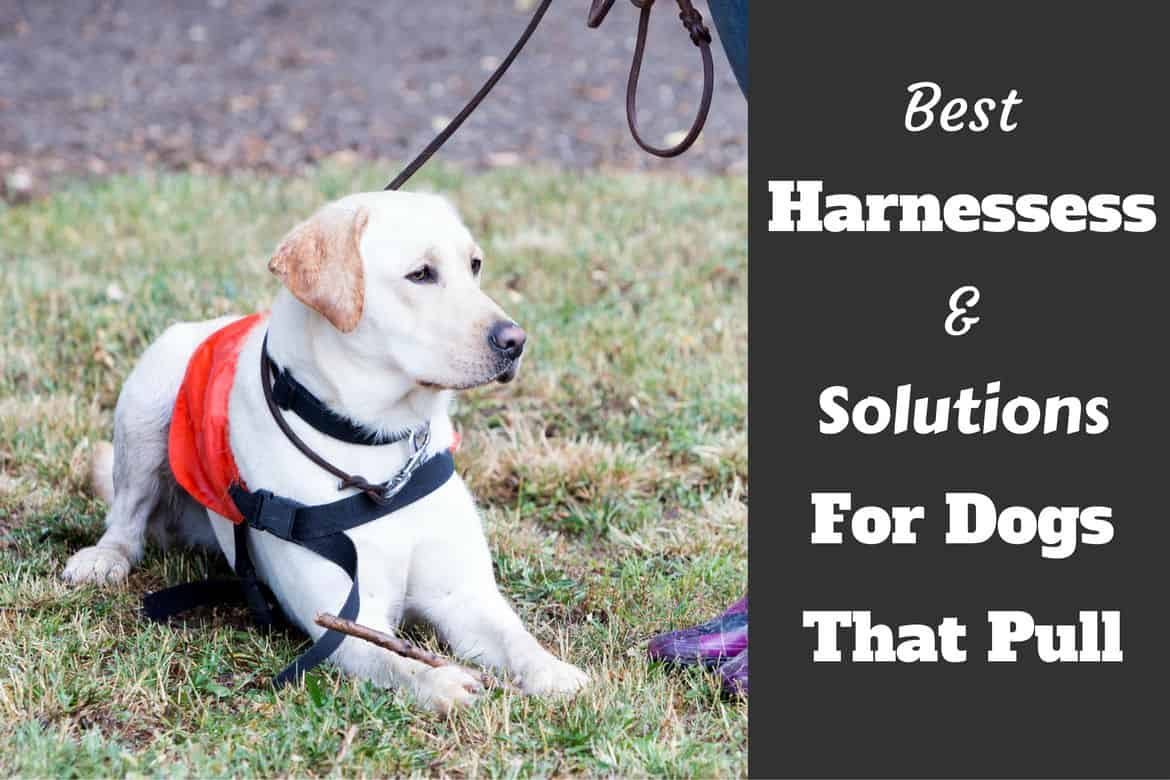 Best harnesses and no pull solutions written beside a lab in a harness