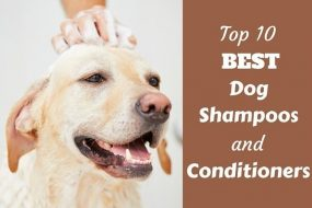 Top 10 best dog shampoo and conditioners written beside a labrador being bathed