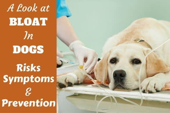 Bloat in dogs risks symptoms and prevention written by a lab on vets bed