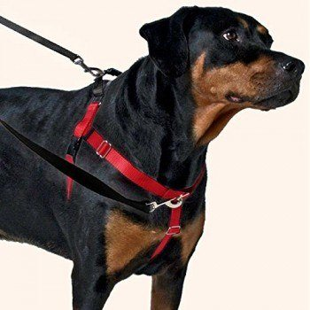 Freedom no pull dog harness on a rottweiler with leashes attached front and rear