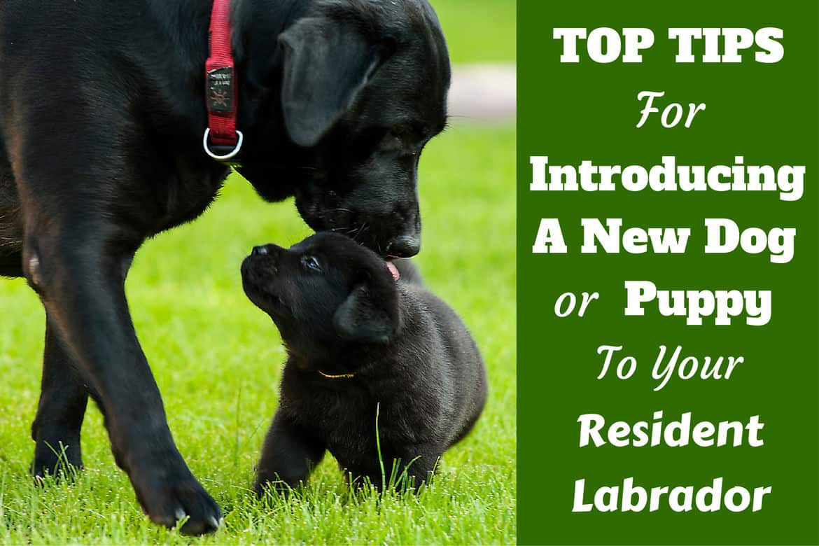 An adult and labrador puppy being introduced on a grassy field