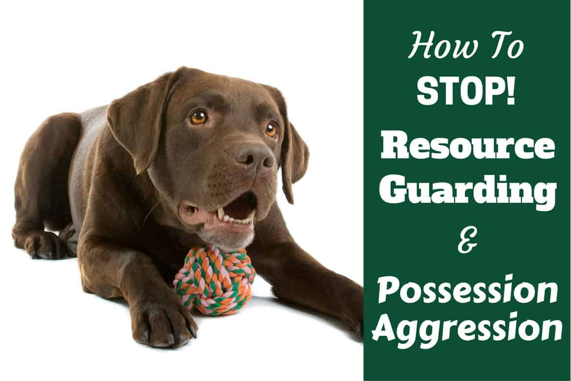 How to stop resource guarding written beside a choc lab protecting a knot toy