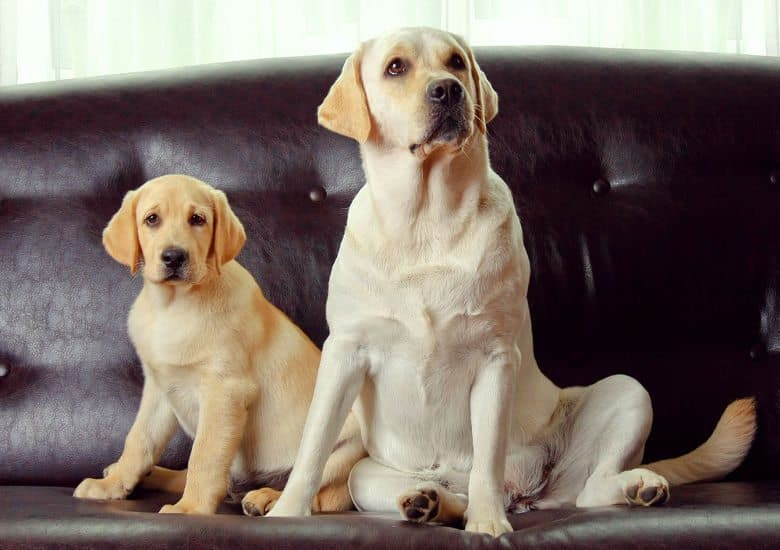 Two labs sitting on a sofa looking into camera