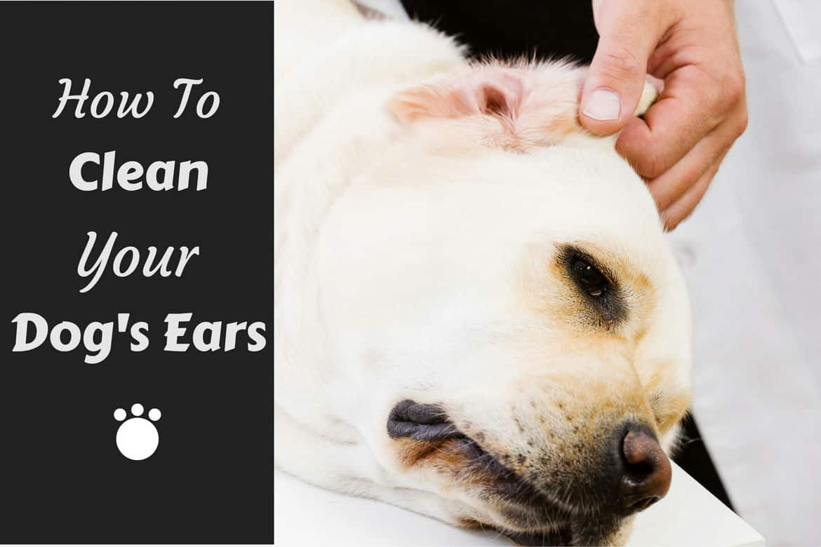 How to clean your dogs ears written beside a lab having his left ear inspected
