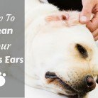 How to Clean Your Labradors Ears - And Why You Should Do It