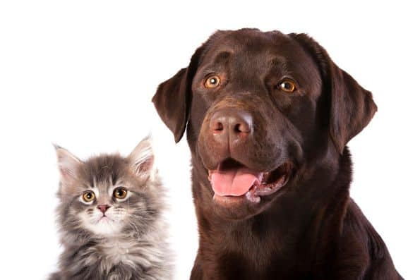 A kitten and choc labrador looking into camera on white background