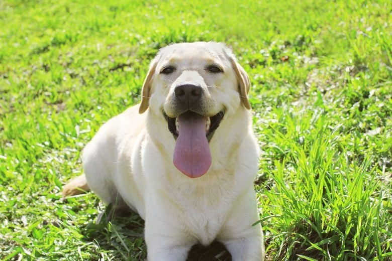 A smiling yellow lab lying on grass looking into camera