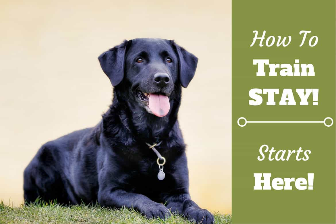 How to train stay written beside a black lab laying in front of a pale yellow wall