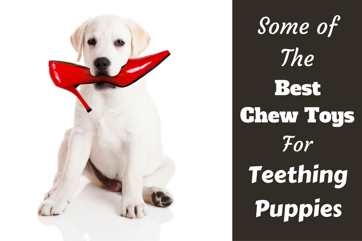 Best chew toys for teething puppies written beside a lab puppy with a red stiletto in mouth