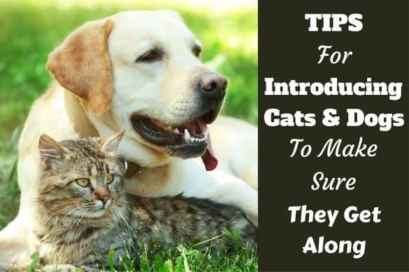 Introducing dogs and cats: Yellow labrador cuddled up with a tabby cat on grass