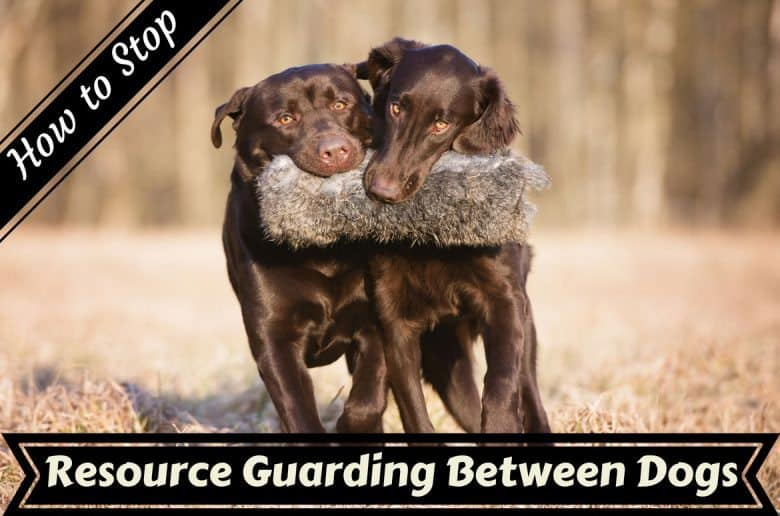 Resource guarding between dogs written below two choc labs with the same hunting dummy in their mouth
