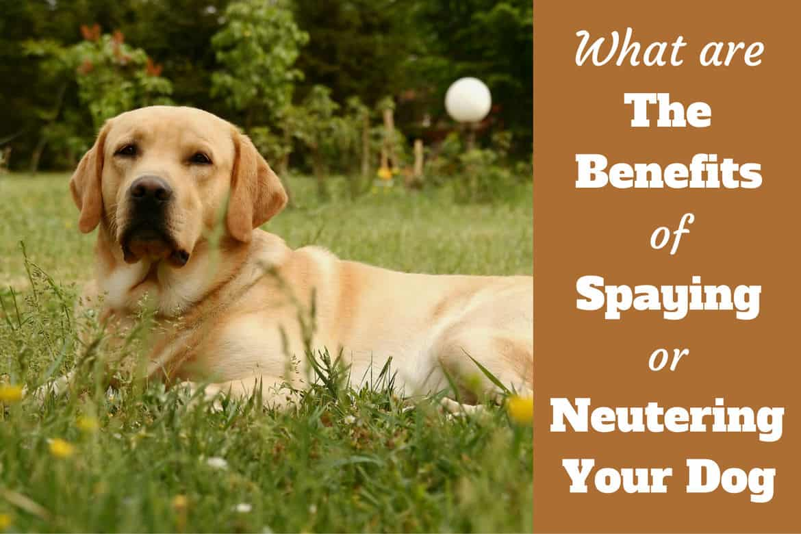 Benefits of spaying and neutering written beside a side view of a yellow lab lying on grass