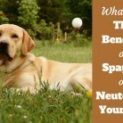 Why Spay or Neuter your Dog? What are the Benefits?
