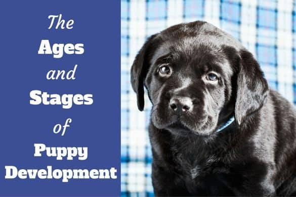 Stages of puppy devlopment written beside a black labrador puppy