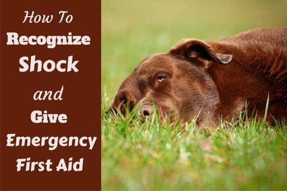 Symptoms and treatment of shock written beside a choc lab lying on grass