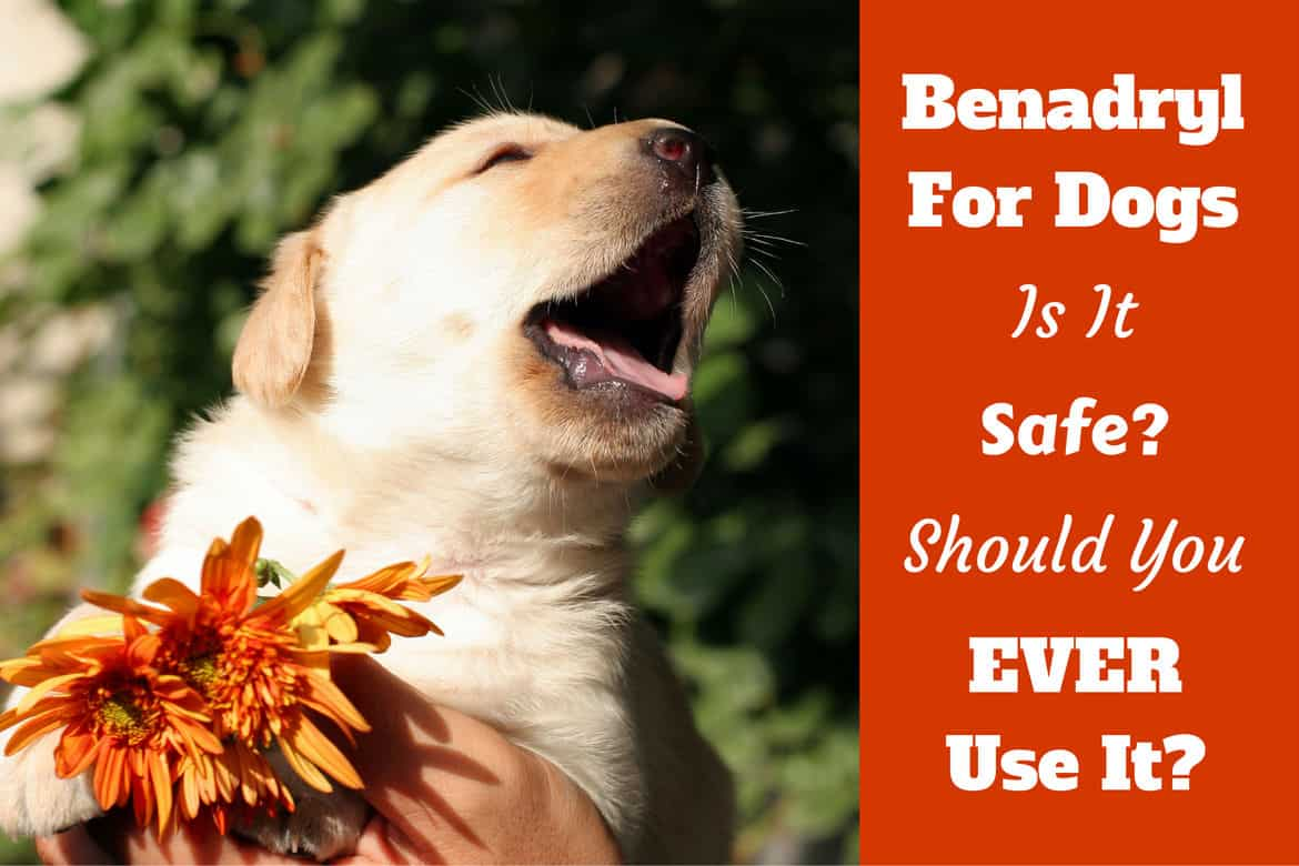 how much benadryl dosage for dogs? (antihistamine for puppies