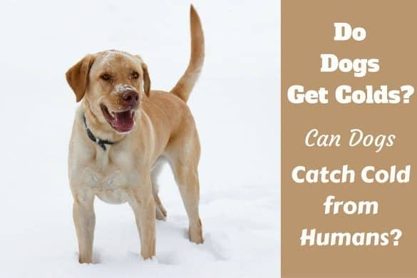 Do Dogs get colds written beside a yellow lab in snow