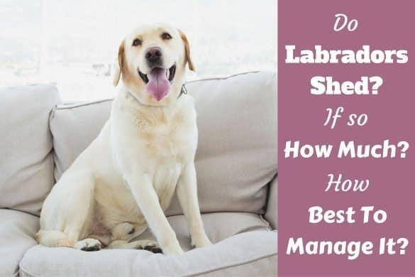 Do labradors shed written beside a yellow lab sitting on a pale sofa