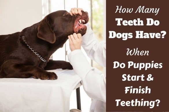 How many teeth do dogs have written by a vet inspecting a choc labs teeth