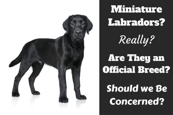 Miniature labradors, do they exist written beside a labrador puppy