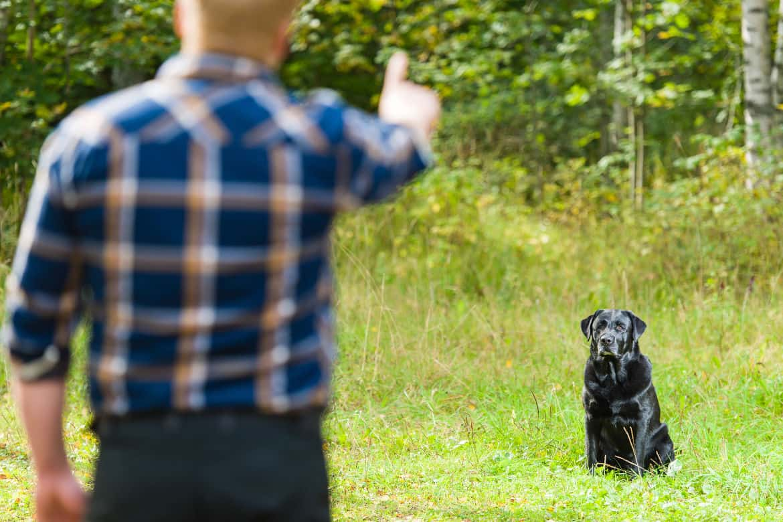 Dog owner trains his labrador retriever to sit