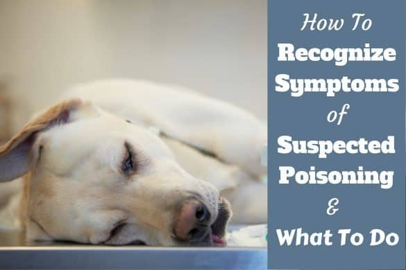 How to recognise symppoms of dog poisoning written beside a sick labrador