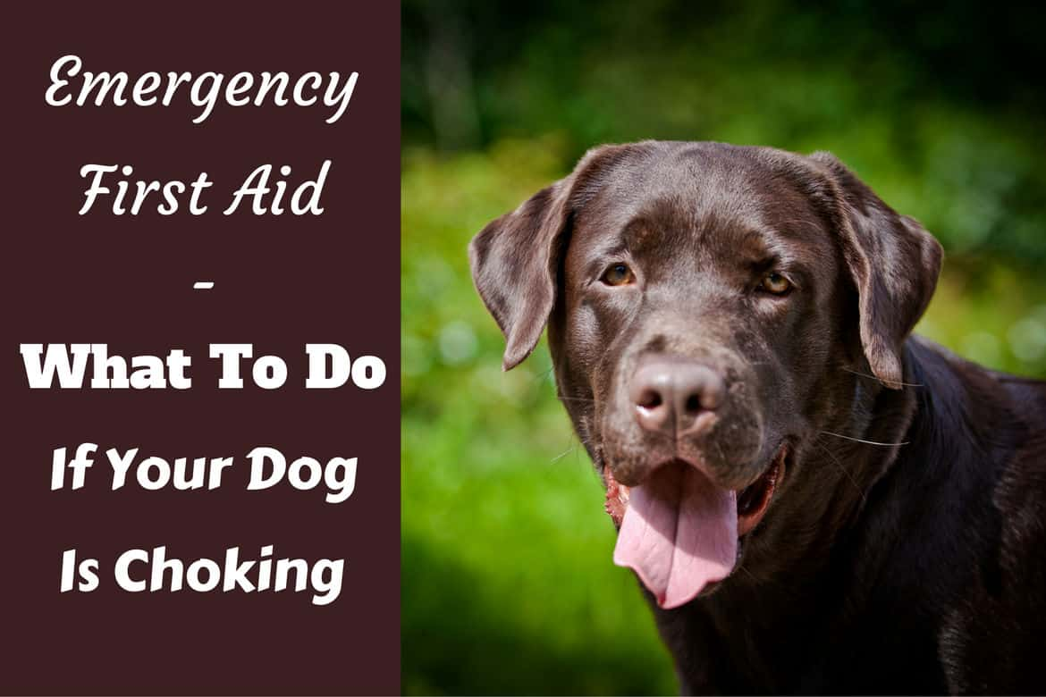What to do if your dog is choking written beside a choc lab looking into camera