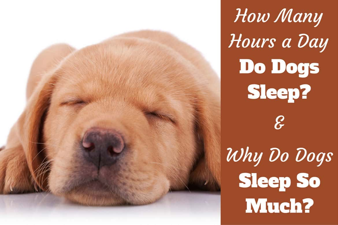 Why do dogs sleep so much written beside a close up of a sleeping lab puppy's face