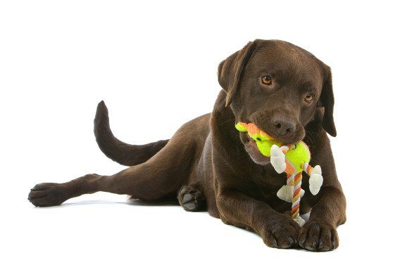 A choc lab chewing a rope toy on white background