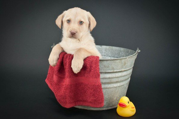 A yellow lab puppy sitting in a bth with towel and rubber duck