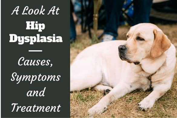 A look at hip dysplasia written by a yellow lab laying on grass