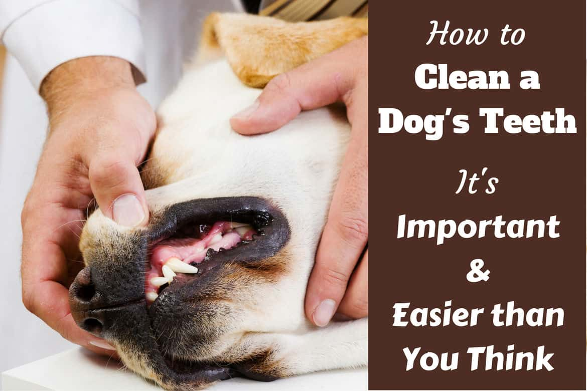 How To Clean A Dog S Teeth And Why It S So Important