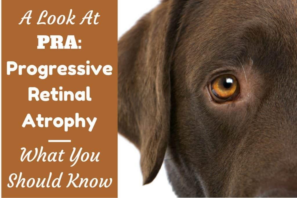Progressive Retinal Atrophy Pra In Dogs What You