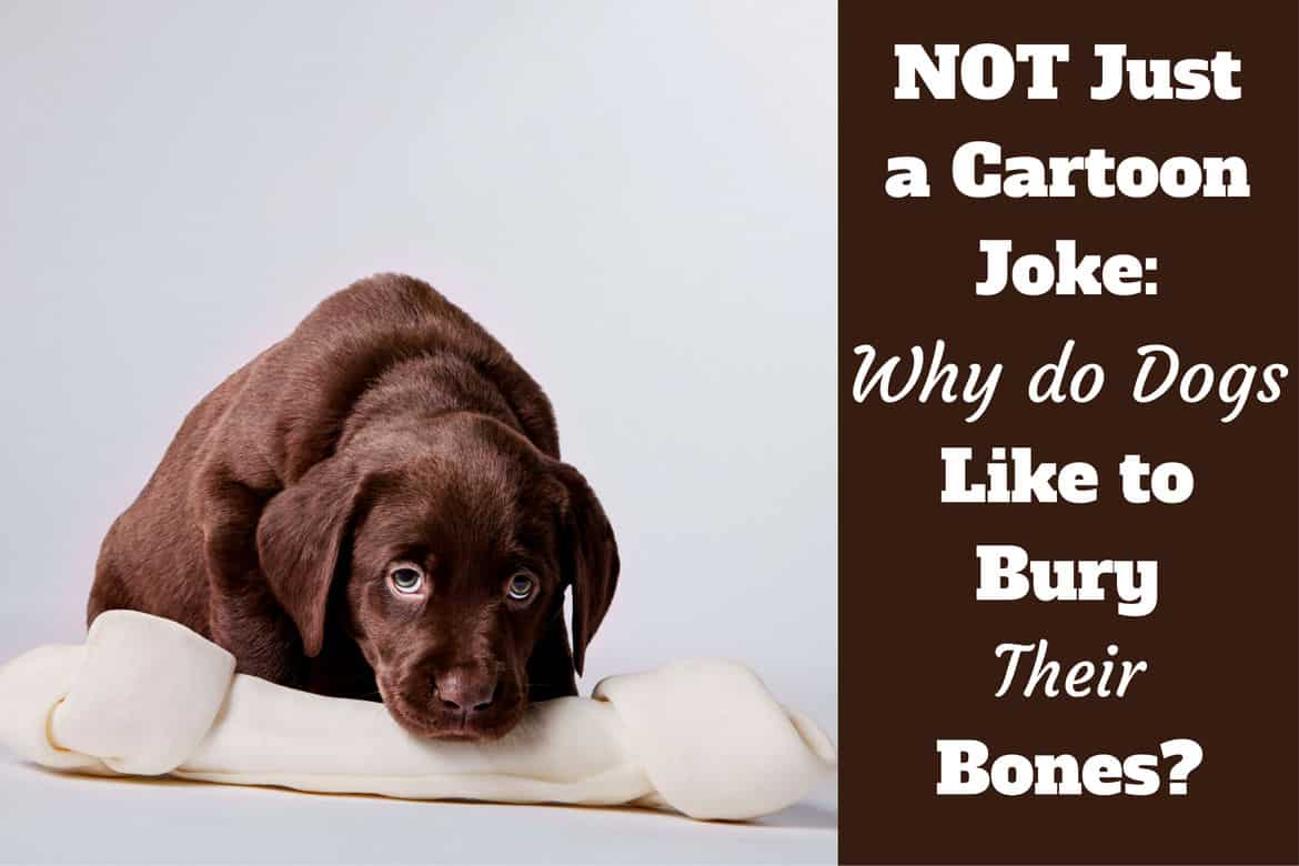 Why do dogs bury bones written beside a choc lab puppy guarding a huge synthetic bone