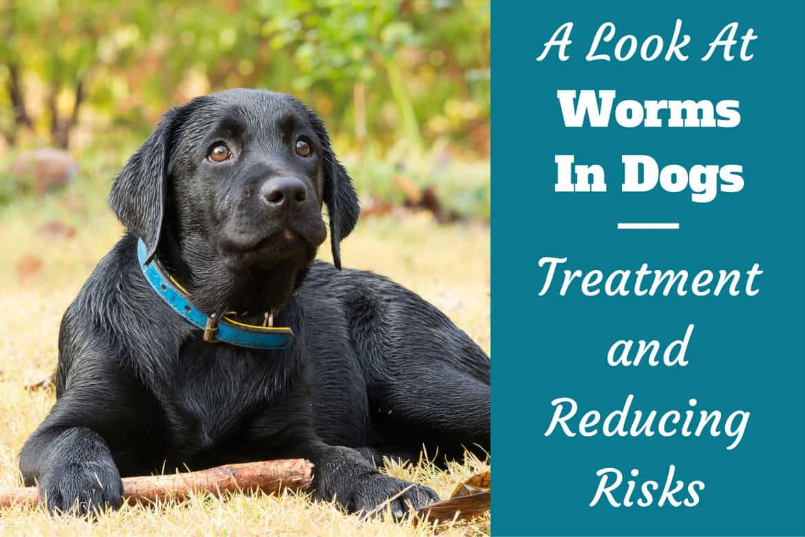 Intestinal Worms In Dogs - Treatment and How to Reduce Risk