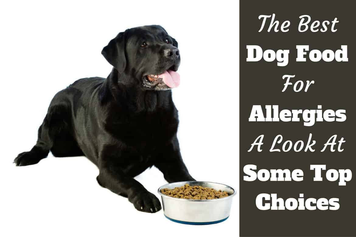 Best Dog Food for Allergies written beside a black lab waiting excitedly to eat on white bg