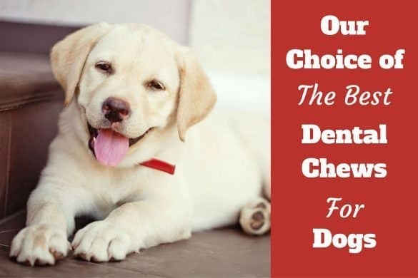 Our choice of the best dental chews written beside a smiling yellow labrador puppy