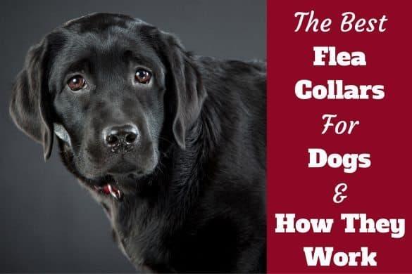 The Best flea collars for dogs written beside a black lab looking into camera