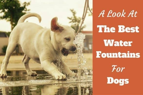 A look at the best water fountain for dogs written beside a yellow labrador puppy drinking from a fountain