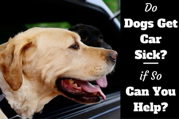 Do dogs get car sick written beside a yellow lab sticking head out of car window