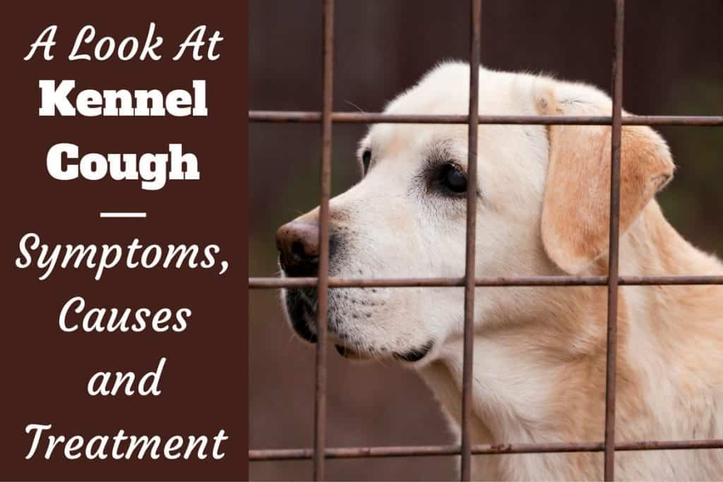 Kennel Cough in Dogs: Symptoms, Causes and Treatment