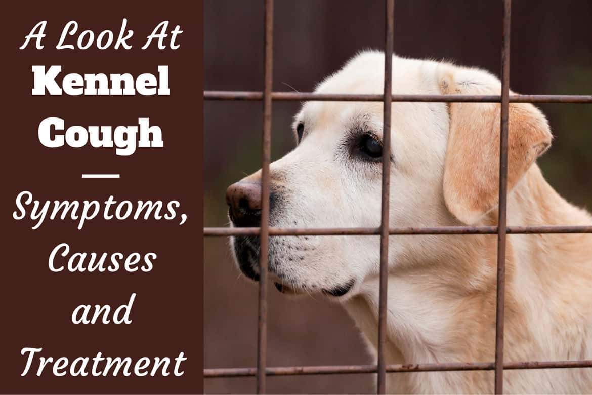 A look at Kennel Cough written beside a yellow labrador behind a wire fence