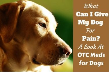 What can I give dog for pain written beside a highlighted side portrait shot of a red labrador.
