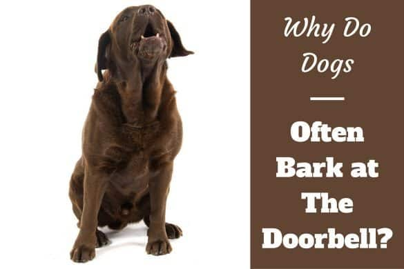 Why do dogs bark at the doorbell written beside a choc lab barking on white bg