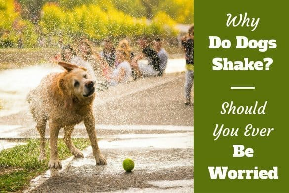 Why do dogs shake written beside a yellow labrador shaking off water